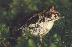 Pelobate fosco(Pelobates fuscus)
